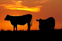 New artistic cattle photos added