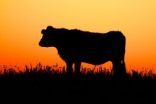 Sunrise Cows