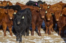 Check out these Angus beauties!