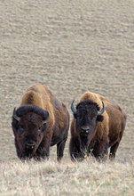 New bison photos added to Wildlife Gallery