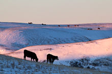 Cattle on winter rangelands