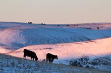Cattle on winter rangelands
