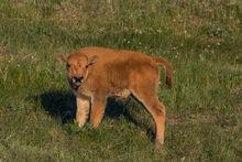 New bison photos uploaded