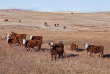 Cattle on fall and winter pastures
