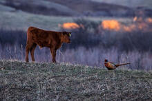 Calf seems intrigued by pheasant