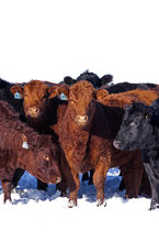 Angus Heifers on a mild winter day