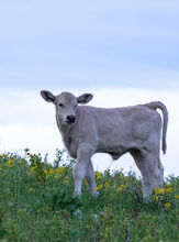 Large selection of calf photos uploaded