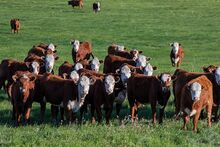 Cattle in springtime