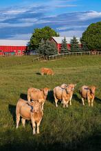 New photo Gallery:  Cattle - Ontario Beef