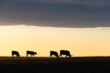 New ARTISTIC cattle photos have been uploaded