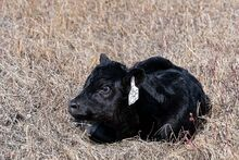 New Calves are out