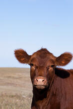New cattle portrait photos uploaded