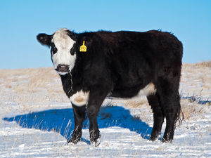 Cattle - winter