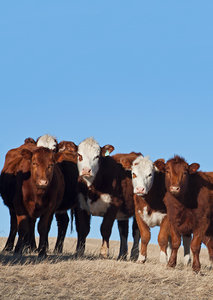 Cattle - cows