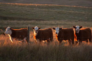 Cattle - calves
