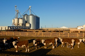 Cattle - feedlot