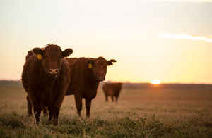Cattle - special light / artistic