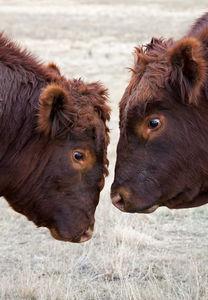 Cattle - bulls
