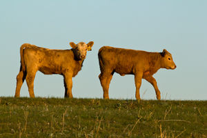 Cattle - calves