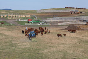 Cattle - feeding