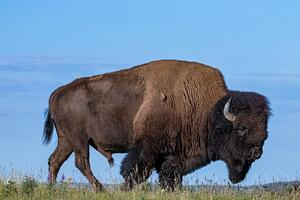 Bison (North American Buffalo) 2