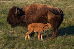 Bison (North American Buffalo)