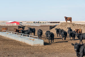 Cattle - feedlot 2