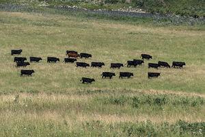 Cattle - herd 2