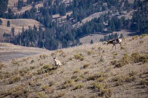 antelope buck, pronghorn, prairies, Antilocapra americana