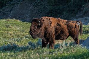 Bison (North American Buffalo)