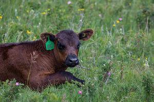 Cattle - calves 2