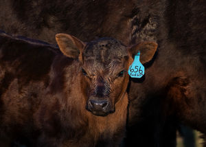Cattle - calves 2