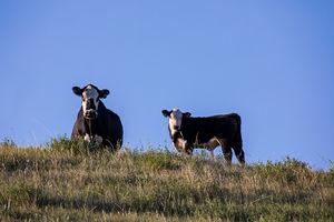 Cattle - cows & calves 2