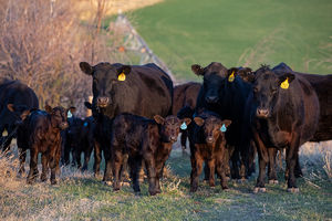 Cattle - cows & calves 2