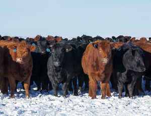 Cattle - winter 2