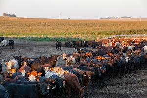 Cattle - feedlot 2