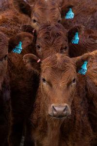 Cattle - portraits