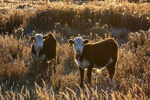 Cattle - yearlings