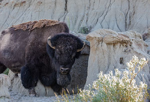 Bison (North American Buffalo) 2