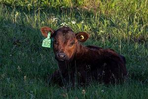 Cattle - calves 3