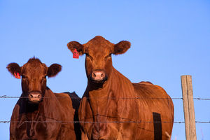 Cattle - cows 3