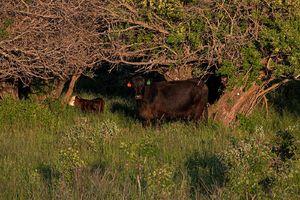 Cattle - cows & calves 3