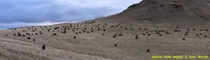 Cattle - panoramas
