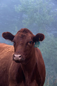 Cattle - portraits
