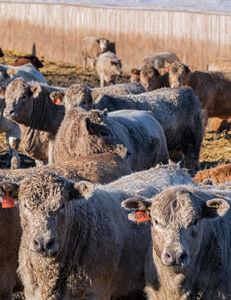 Cattle - feedlot 3