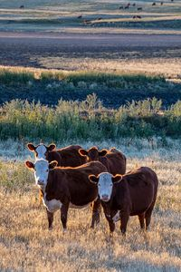 Cattle - yearlings 2