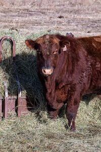 Cattle - bulls 3