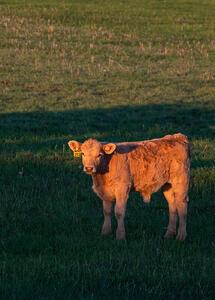 Cattle - calves 4