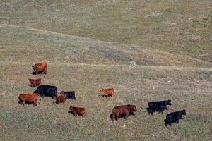 Cattle - bulls and cows 2