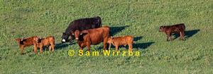 Cattle - cows & calves 4